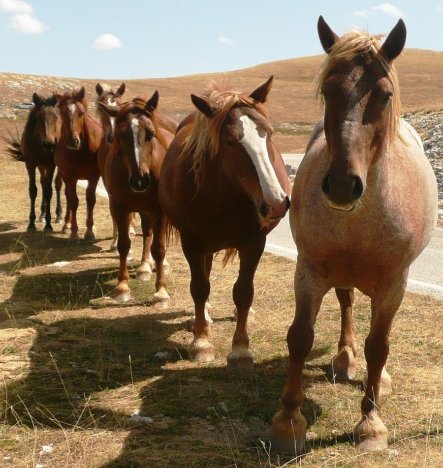 horses-284416_1280